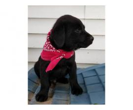 One black lab puppy for sale