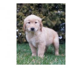 Registered Golden retriever Puppies 2 males 2 females