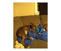 4 bluenose pit bull puppies