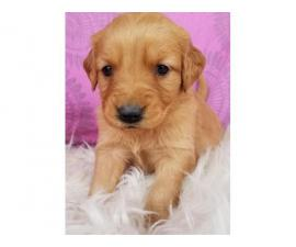 2 months old full breed golden retriever puppies available.