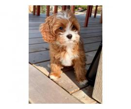 Deep Red Cavapoo