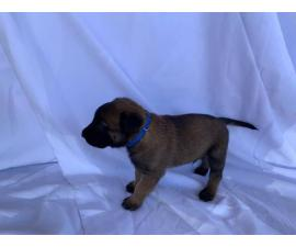 6 Full bred Belgian Malinois puppies available