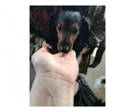 Sweet Male Dachshunds for rehoming