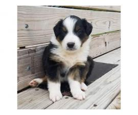 English Shepherd puppy for sale