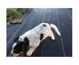 White Collie Shepherd Mix for Sale