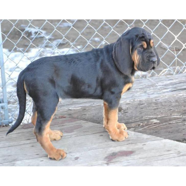 11 weeks old Bloodhound Puppies for Sale in South Dakota USA