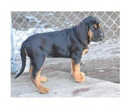 11 weeks old Bloodhound Puppies for Sale