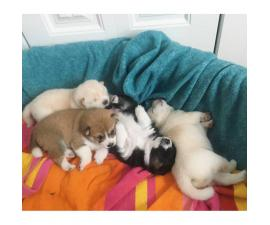 10 weeks old Shiba Inu Puppies ready to go to good homes