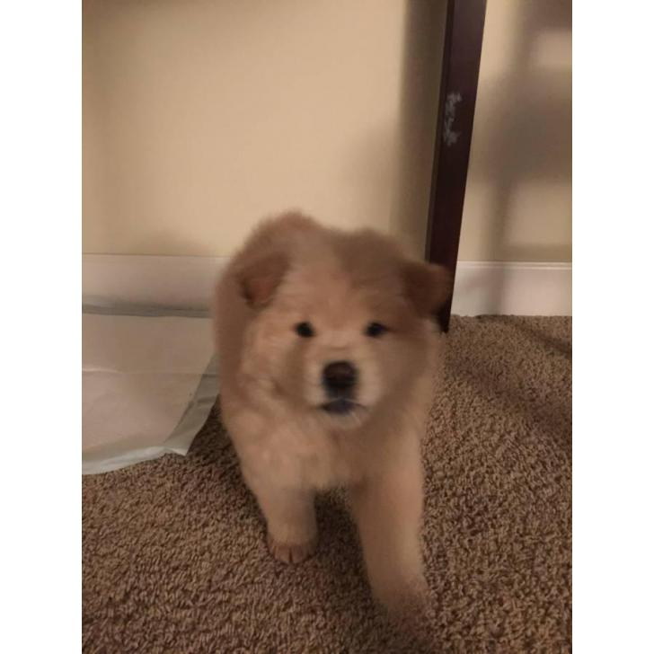 8 weeks old chow chow puppy for sale in Anchorage, Alaska ...