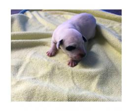 6 Dalmatian puppies for sale