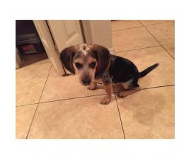 4 months old Beagle puppy with AKC registered papers