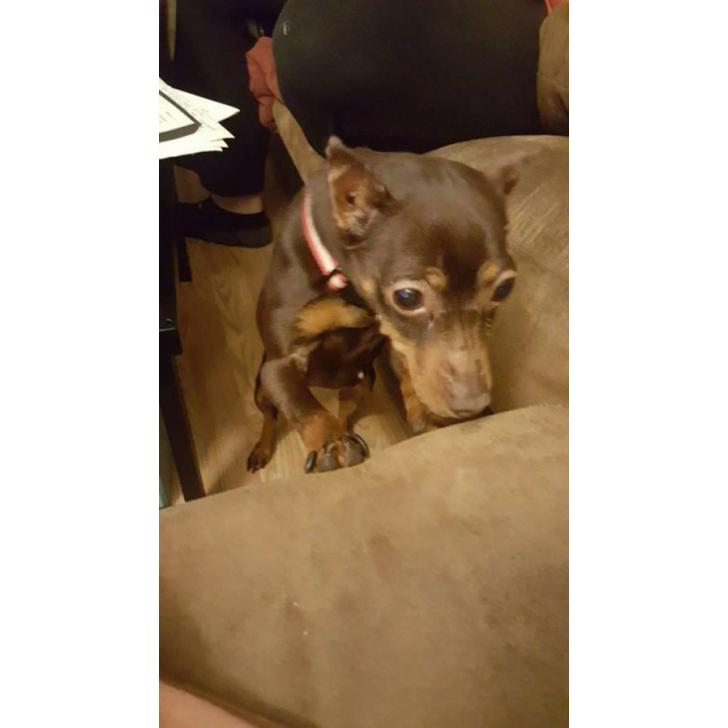 7 Years Old Doberman Pinscher For Sale In Topeka Kansas