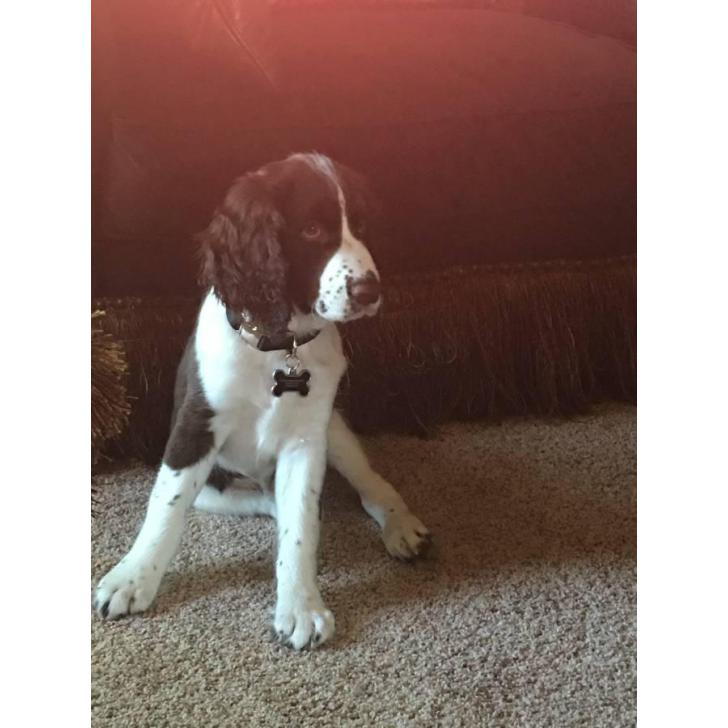 English Springer Spaniel Male Puppy For Sale In Topeka Kansas Puppies For Sale Near Me