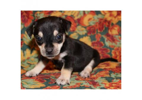 Chiweenie mini puppies for sale