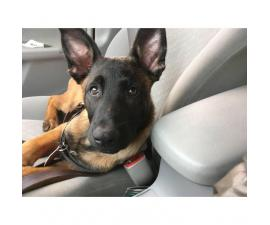 Purebred Belgian Malinois for Sale