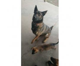 Very healthy and active Belgian Malinois Puppies for Sale