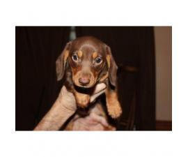 Ckc registered chocolate dachshund puppy for sale