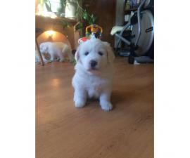 3 female Pyrenees's puppies for sale