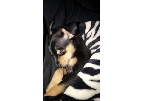 Male Chorkie puppy available