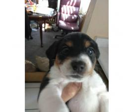 Pocket size beagle puppies - 2 gorgeous male puppies left