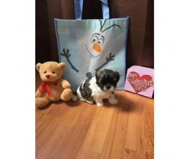 Adorable Cute Teddy Bear Shichon puppies for sale