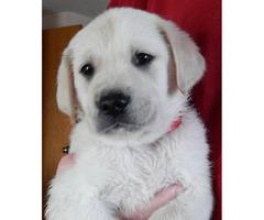 Cream Golden Labrador Retrievers ready for adoption
