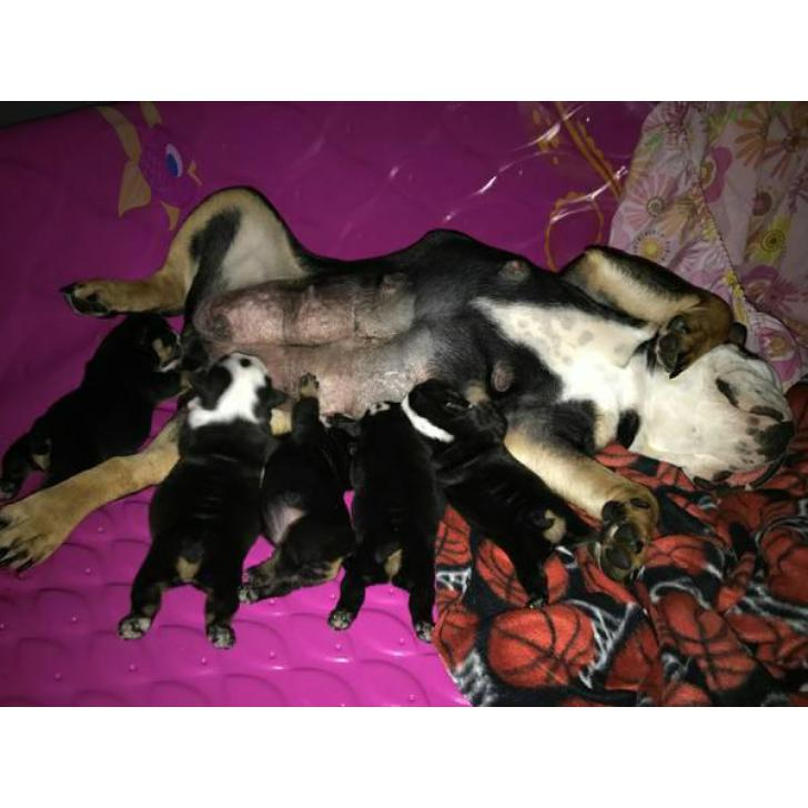 English Bulldog Puppies Akc Registered Papers Full Rights In Miami Florida Puppies For Sale