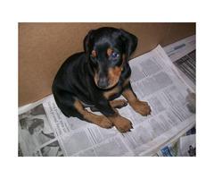 Doberman pinscher male & female puppies