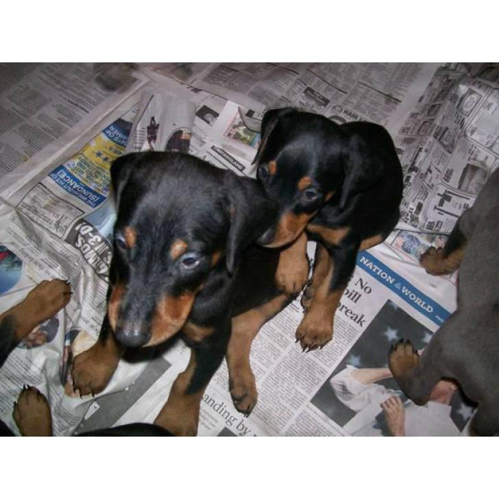 Doberman Pinscher Male Amp Female Puppies In Chicago Illinois Puppies For Sale Near Me