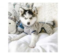 Lovely Female Pomsky for sale now