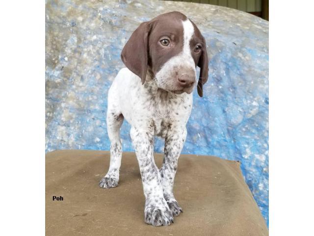 Akc Reg German Shorthair Pointer Purebred Puppies In