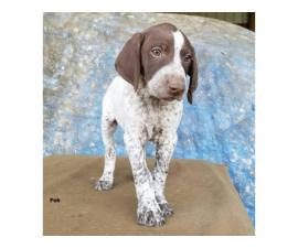 AKC reg. German Shorthair Pointer purebred puppies