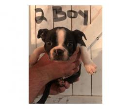 7 week old puppies Boston Terrieravailable