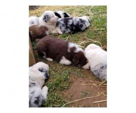 Full-blooded Aussie puppies  waiting for a great family