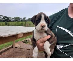 Three girls, three boys boxer puppies up for adoption
