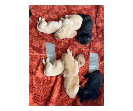 Six yellows and four black Pure breed Labrador puppies