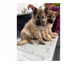 German Shepard puppies Three boys, and one girl