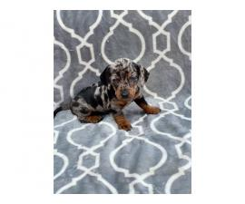 Registered Mini Dachshund Silver Dapple and Black and Tan