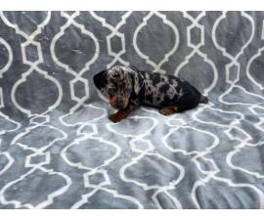 Registered Mini Dachshund Silver Dapple and Black and Tan