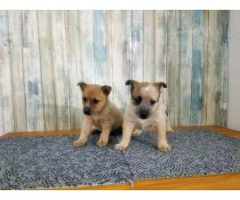 2 males Pembroke Welsh Corgi Pups