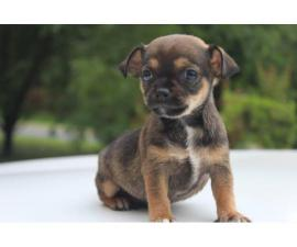 Rehoming 4 Chiweenie puppies
