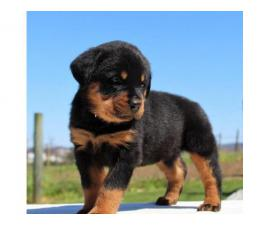 BEAUTIFUL ROTTWEILER BABIES