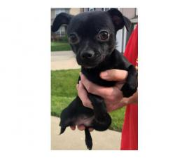 Looking for a new home for our Chi Poo puppy