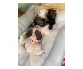 One Chinese crested puppy left