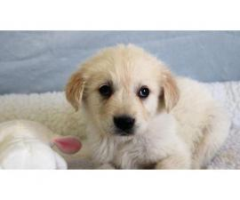 5 Generation AKc Golden Retriever Puppies (4 Girls Left)