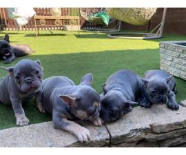 AKC Lilac And Blue French Bulldogs For Sale