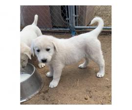 1 female & 2 males Akbash puppies for sale