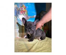 French Bulldog Puppies for sale 4 Girls 1 Boy left