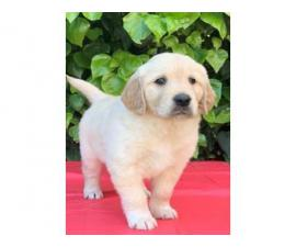 AKc Registered Labrador Retriever Puppies