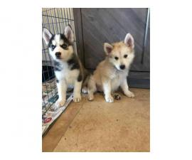 8 weeks old pure-bred husky puppies